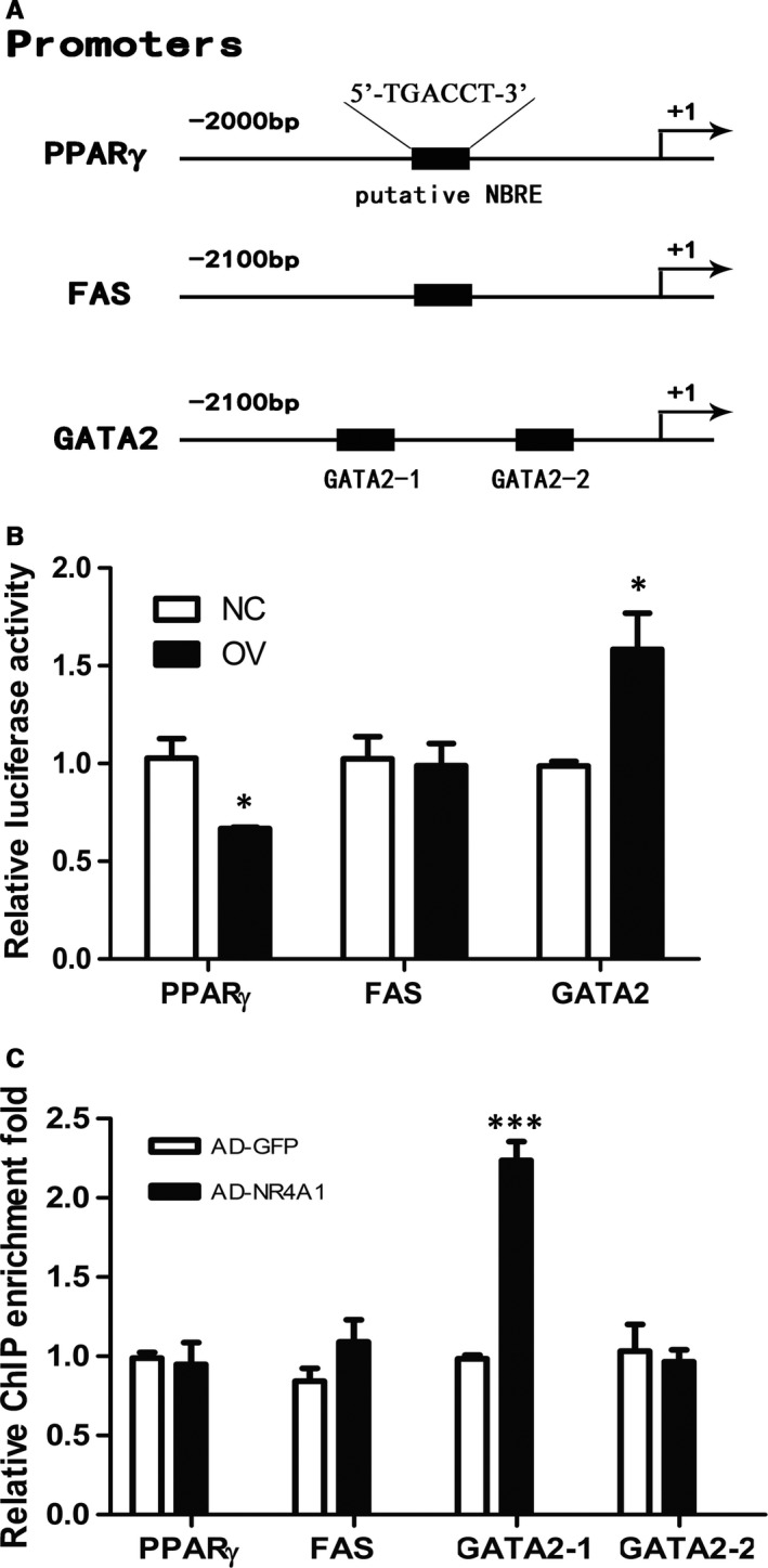 NR 4A1 regulating the transcription of adipogenesis‐related genes. A, Putative NR 4A1 binding sites (a putative NBRE ) in promoters of PPAR γ, FAS and GATA 2. B, <t>Dual‐luciferase</t> <t>reporter</t> gene <t>assay</t> for PPAR γ, FAS and GATA 2 promoters. C, Ch IP ‐ qPCR was exploited to analyse the physical association between NR 4A1 and the promoter region of PPAR γ, FAS or GATA 2. The data show the means of three independent experiments, * P