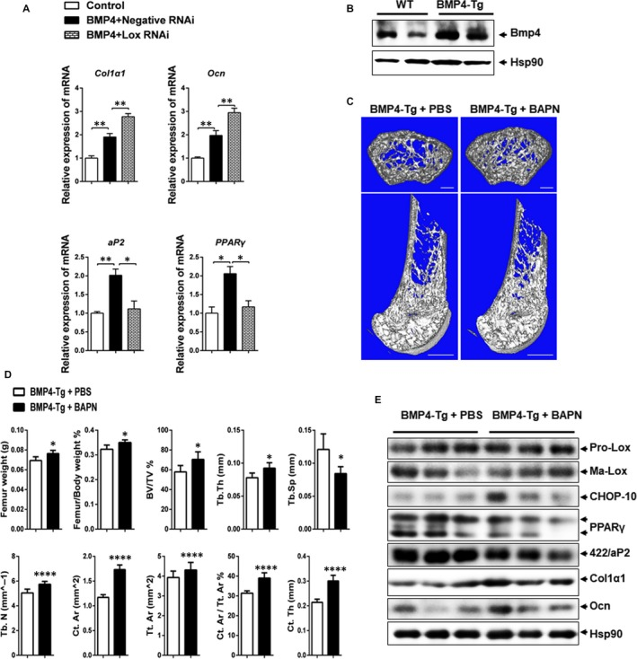 Lox inhibition together with BMP4 enhances bone formation in vivo. A, C3H10T1/2 stem cells transfected with Lox RNAi or negative RNAi in the presence of BMP4 were transplanted with HA‐TCP (hydroxyaptite‐tricalcium phosphate) subcutaneously into the armpit of immunocompromised mice for 4 wk. The transplants were harvested. Expression of osteogenic and adipogenic markers in transplants was evaluated by Q‐PCR (n = 4). B, BMP4 expression in the femur from WT and BMP4‐Tg mice. C, 3D micro‐CT images of cross sections (upper panel) and vertical sections (lower panel) of right femur extracted from BMP4‐Tg mice with PBS or BAPN treatment. Bars: upper panel, 200 μm; lower panel, 1 mm. D, Quantification of trabecular and cortical bone for the same femur as C. Results are shown as mean ± SEM. E, Western blotting of Lox, CHOP‐10, PPARγ, 422/aP2, Col1α1 and Ocn expression in the right femur extracted from BMP4‐Tg mice with PBS or BAPN treatment. * P