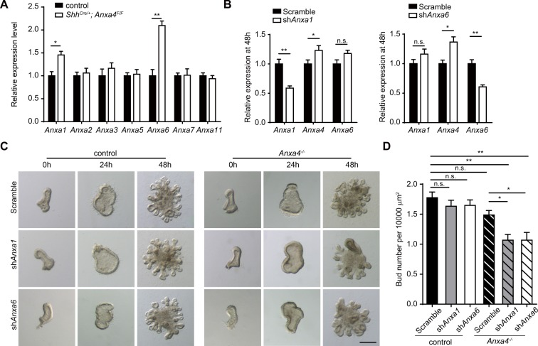 Anxa4 functions redundantly with Anxa1 and Anxa6 in regulating endoderm budding process. ( A ) Relative expression level of Anxa1, Anxa2, Anxa3, Anxa5, Anxa6, Anxa7 and Anxa11 in control and Shh Cre/ + ; Anxa4 F/F lungs. ( B ) The relative expression level of Anxa1 , Anxa4 and Anxa6 at 48 h in cultured control lung endoderm treated with Scramble shRNA, or sh Anxa1 , or sh Anxa6 . The knockdown efficiency of sh Anxa1 or sh Anxa6 in cultured lung endoderm explants at 48 h was about 40%. Data are presented as mean ± S.E.M, n = 3. ***p