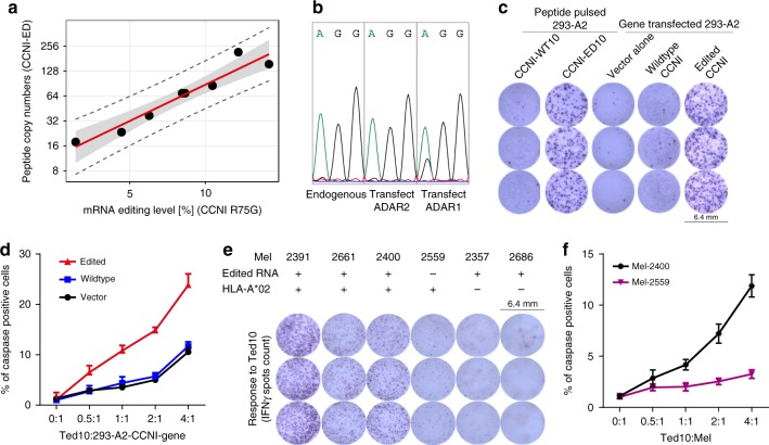 Edited CCNI peptide level is correlated with its biological function. Correlation of CCNI peptide levels with CCNI and ADAR mRNA expression as well as Ted10 activation and Ted10 mediated tumour target killing. a Correlation between the number of edited CCNI peptide copies per cell determined by the AbsQuant ® method and mRNA editing levels determined by targeted <t>RNA-seq</t> for CCNI R75G . The scatterplot ( n = 8) includes the regression curve (red line) as well as the 95% confidence interval (grey band) and 95% prediction interval (dashed lines). b CCNI-R75G is edited by ADAR1 . HEK 293 stably expressing CCNI wildtype gene was transfected with empty vector or expression vectors of ADAR1 or ADAR2 . CCNI editing was measured by <t>RT-PCR</t> and followed by sequencing. The double peaks indicate nucleotide A to G conversion and the height of peaks reflect the level of editing. c ELISPOT assay showing IFNγ production by Ted10 incubated with peptide-pulsed or CCNI -transfected 293-A2 cells. d CTL killing assay showing that over-expression of edited CCNI gene increases the sensitivity of Ted10 mediated 293-A2 target killing ( n = 3), summarised as mean ± s.e.m. per titration. e IFNγ ELISPOT assay showing recognition of endogenous CCNI-ED antigen by Ted10. Mel-2391, mel-2400 and mel-2661 expressing both edited CCNI mRNA and HLA-A*02:01 are highly reactive to Ted10. Mel-2559, which was derived from the same patient as mel-2400 but does not have detectible edited CCNI mRNA, only reacted at background levels to Ted10. Mel-2357 and mel-2686, which express edited CCNI mRNA but do not express HLA-A*02:01, have no response to Ted10. f, Ted10 mediated target killing following incubation with mel-2400 and mel-2559 measured by caspase-3-based CTL killing assay (summarised as mean ± s.e.m. of the three triplicates)