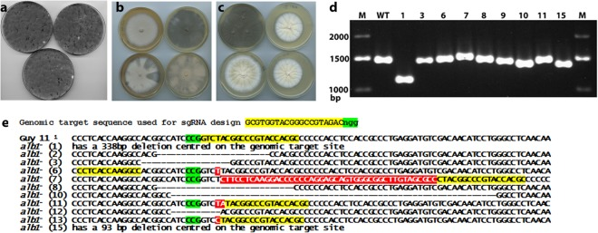 Marker-less RNP-CRISPR-Cas9 gene targeting of ALB1 without donor DNA. ( a ) Transformation plates from ALB1 -targeting RNP-CRISPR-Cas9 without donor DNA showing rare albino patches ( b ) Primary colonies obtained by picking from the white patches shown in a. ( c ) Purified regenerants following a combination of subculture (hyphal tip isolation) and single spore isolation in most cases gave pure albino colonies. ( d ) Gel electrophoresis of the PCR products generated using the genomic DNA of the purified albino regenerants and primers PKS-ck-F and PKS-ck-R which flank the ALB1 -targeting RNP-CRISPR-Cas9 genomic target sequence showing visible variation in product size. The gel image shown here was cropped, but no other bands were present. The full gel is given in Fig. S1 . ( e ) Sequences of the amplicons shown in ( d ), showing a range of mutations and indels.