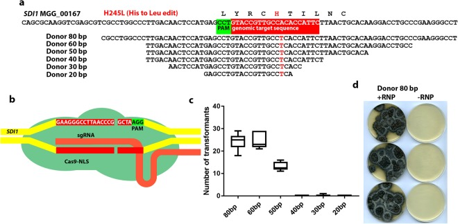 Oligonucleotide-mediated RNP-CRISPR-Cas9 genome editing of SDI1 to confer carboxin resistance. ( a ) Illustration of the substitution required to give a carboxin resistant form of the succinate dehydrogenase subunit product of MGG_00167 and the oligonucleotide donor DNAs capable of introducing the required one nucleotide change necessary tested. Also indicated is the genomic target sequence of the SDI1 -targeting RNP-CRISPR-Cas9 complex employed. ( b ) Diagram showing the RNP used and the predicted DSB at the SDI1 -targeting RNP-CRISPR-Cas9 genomic target sequence. ( c ) Graph showing the number of transformants obtained using the different donor DNAs indicated in a. in combination with the RNP illustrated in b. ( d ) Transformants from the 80 bp long donor DNA shown in panel a. transformed together with the RNP complex illustrated in panel b. and also showing control plates where only the donor DNA without RNP was transformed (although no transformants are visible on the control plates, using the RNP+ the 30 bp donor one carboxin resistant transformant was obtained which may indicate that very rarely the short oligos can recombine in the absence of the RNP complex; no other carboxin resistant transformants were obtained in the other controls).