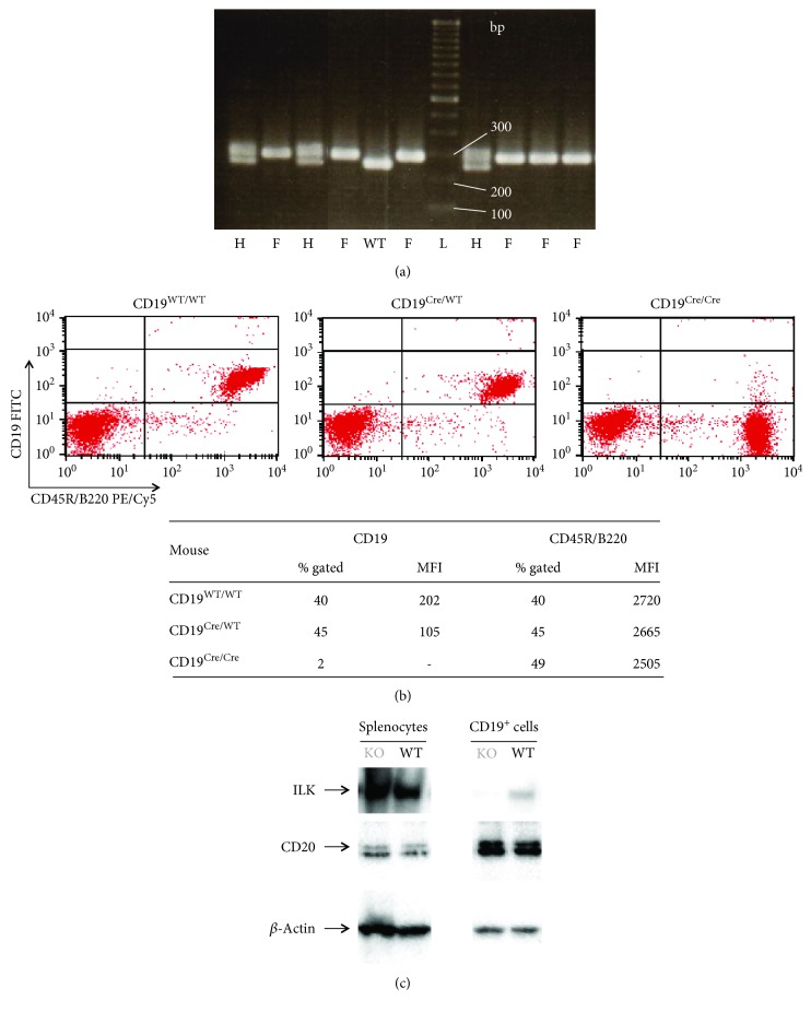 Identification of mice with B cell-specific deletion of ILK. Mice with B cell-specific deletion of ILK were identified through PCR (a) and flow cytometry (b) and Western blot (c). (a) DNA from the tail was amplified by PCR and then separated and visualized on 2% agarose gel to identify the mice with floxed ILK genes: L: TrackIt™ 100 bp DNA ladder; WT: ILK WT/WT ; H: ILK flox/WT ; and F: ILK flox/flox . (b) Identification of mice with CD19 WT/WT , CD19 Cre/WT , or CD19 Cre/Cre genotype was done by flow cytometric analysis on the blood that was double-stained with CD19 (FITC) and CD45R/B220 (PE/Cy5). Mice with CD19 Cre/Cre genotype did not display CD19 on the outer surface of the B cells. CD19 Cre/WT mice still expressed CD19 on the outer surface of the B cells, but at a lower density than CD19 WT/WT mice which consequently translated in a lower MFI compared to CD19 WT/WT mice. The similar percentages of gated CD45R/B220 + cells with equal MFI demonstrated that there was no loss in the B cell population in CD19 Cre/WT mice and CD19 Cre/Cre mice compared to CD19 WT/WT mice. (c) Western blot was performed on splenocytes and on splenic B cells from mice identified as being ILK wild type (WT, CD19 WT/WT /ILK flox/flox ) or ILK knockout (KO, CD19 Cre/WT /ILK flox/flox ). High expression of ILK was observed in the splenocytes of WT and KO mice, but ILK was not detected in the B lymphocytes of the latter.