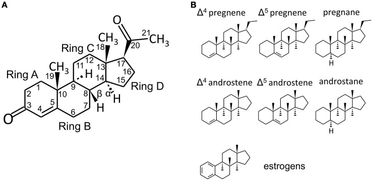 Steroid structure. (A) structure of the C21 steroid progesterone (P, used as an example), with carbon numbering and steroid ring numbering. In the storied graphics in Figures 1B and 2 , the H groups and the relative bonds will be omitted (with the exclusion of the H in 5α-reduced steroids - androstanes and pregnanes). Methyl groups will be indicated by the bonds only without the CH 3 group. (B) structures of C21 pregnene (Δ 4 and Δ 5 , i.e., double bond between C4 and C5 or between C5 and C6, respectively), pregnane (5α-reduced steroid), C19 androstene (Δ 4 , Δ 5 ) and androstane and C18 (A-ring)-aromatic estrogens. Chemical structures were designed with the aid of Sketcher V2.4 (Ihlenfeldt et al., 2009 ), available online at PubChem ( www.ncbi.nlm.nih.gov ; pubchem.ncbi.nlm.nih.gov ) (Kim et al., 2016 ).