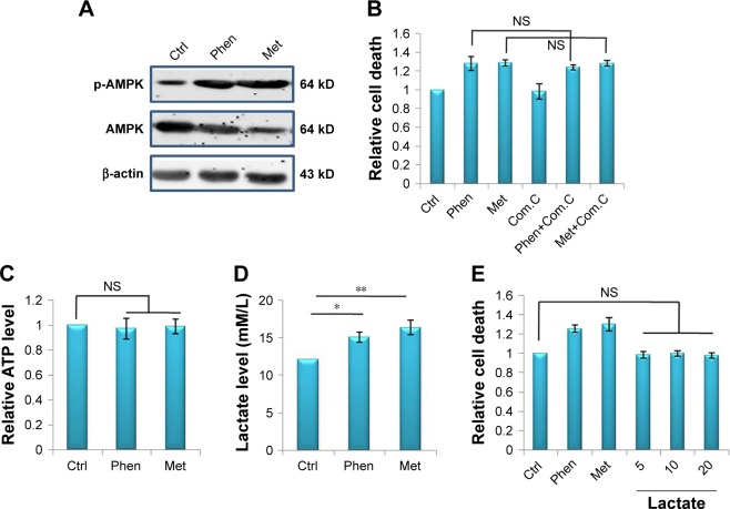 The effects of Phen and Met on LN229 cells in vitro. Notes: ( A ) The expression levels of AMPK and p-AMPK after treatment with Phen or Met in LN229 cells. ( B ) The cell death of LN229 after treatment with Phen, Met, or in combination with dorsomorphin. ( C ) The levels of ATP in LN229 cells after treatment with Phen or Met. ( D ) The levels of lactate in LN229 cells after treatment with Phen or Met. ( E ) The death of LN229 cells after treatment with Phen, Met, or lactate. * p