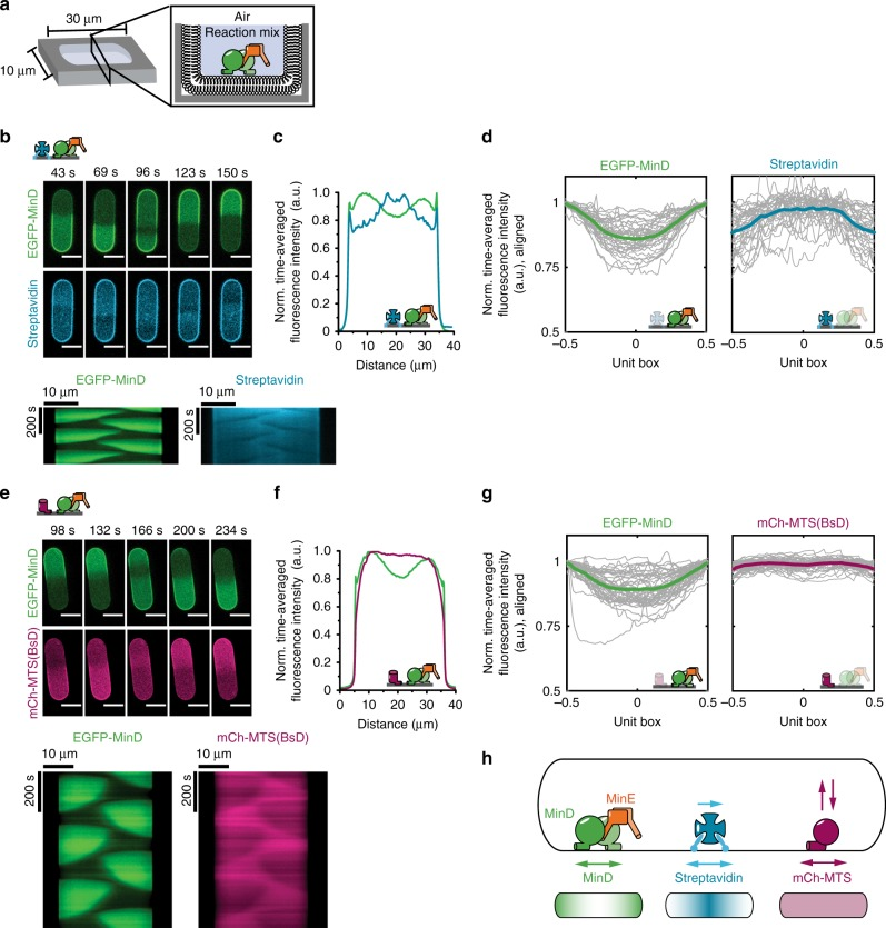 MinDE induce oscillatory and time-averaged concentration gradients of model membrane proteins in microcompartments. a Experimental setup: PDMS-microcompartments are lined with an SLB and covered by air to confine the proteins. b Representative time-lapse images and kymographs of MinDE oscillations and streptavidin counter-oscillations in the compartments (1 µM MinD, 2 µM MinE, streptavidin-Alexa647). Brightness of the streptavidin channel was corrected for bleaching using histogram matching in Fiji. Scale bars: 10 µm. c Time-averaged fluorescence intensity profiles of MinDE (green) and streptavidin (cyan) oscillation in b showing clear concentration gradients for both MinD and streptavidin. d Time-averaged fluorescence intensity profiles (gray lines) for EGFP-MinD and streptavidin aligned and projected to a unit box (see Supplementary Fig. 14 for details). Bold, colored lines represent the mean profiles, generated from three independent experiments with N = 35 microcompartments. e Representative time-lapse images and kymographs of MinDE oscillations and mCh-MTS(BsD) counter-oscillations in PDMS microcompartments (1 µM MinD (30% EGFP-MinD), 2 µM MinE, 0.5 µM mCh-MTS(BsD)). Scale bars: 10 µm. f Time-averaged fluorescence intensity profiles of MinDE (green) and mCh-MTS(BsD) (magenta) oscillations in e showing a clear protein gradient for MinD and homogenous protein distribution of mCh-MTS(BsD). g Time-averaged fluorescence intensity profiles (gray lines) for EGFP-MinD and mCh-MTS(BsD) aligned and projected to a unit box. Bold, colored lines represent the mean profiles, generated from three independent experiments with in total N = 45 microcompartments. h Schematic explaining how the MinDE system positions lipid-anchored streptavidin and mCh-MTS constructs in rod-shaped microcompartments. MinDE oscillations drive counter-oscillations of lipid-anchored streptavidin and mCh-MTS constructs, thereby establishing a time-averaged concentration gradient of lipid-anchored streptavidin with maximal concentration in the geometric center, but no concentration gradient of mCh-MTS
