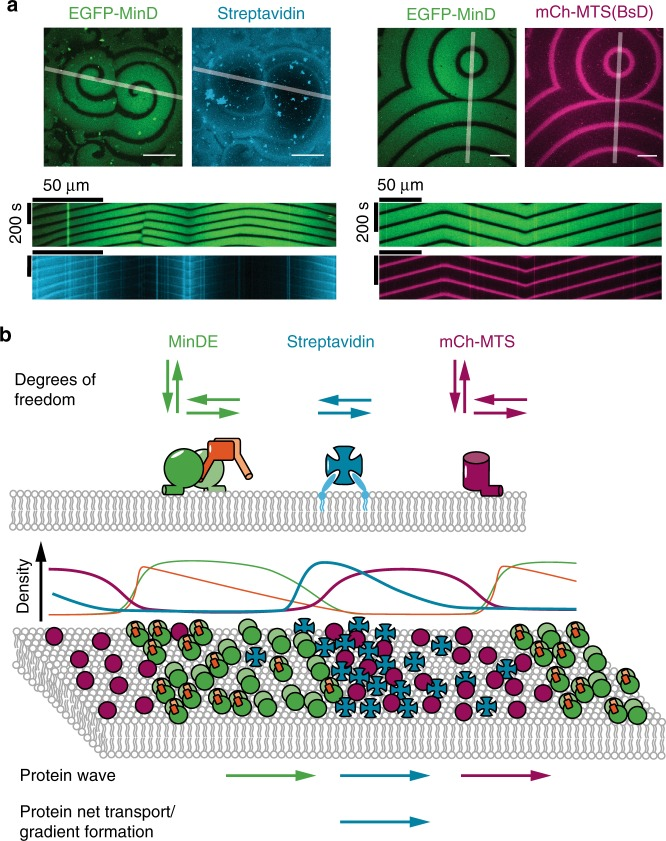 MinDE-driven dynamics of model membrane proteins in vitro suggest that MinDE form a propagating diffusion barrier. a Representative images and kymographs of colliding MinDE waves in the presence of mCh-MTS(BsD) and lipid-anchored streptavidin bound to biotinylated lipids (1 µM MinD (30% EGFP-MinD), 1 µM MinE, 1 µM mCh-MTS(BsD) or streptavidin-Alexa647). Scale bars: 50 µm. b Schematic of the underlying protein behavior resulting in spatiotemporal regulation of model peripheral and membrane-anchored proteins. While mCh-MTS and MinDE can also attach and detach to and from the membrane, streptavidin can only diffuse laterally on the membrane. Schematic density profiles and protein localization on the membrane (magenta: mCh-MTS, green: MinD, orange: MinE, cyan: lipid-anchored streptavidin). The MinDE wave propagates directionally, even if individual proteins show a random movement on the membrane. Both model peripheral and membrane-anchored proteins show a wave propagation in the direction of the MinDE wave. mCh-MTS while more abundant in the MinDE minima covers the membrane homogenously. In contrast the resulting secondary wave of streptavidin shows an inhomogeneous profile and results in a net transport of the membrane-anchored protein