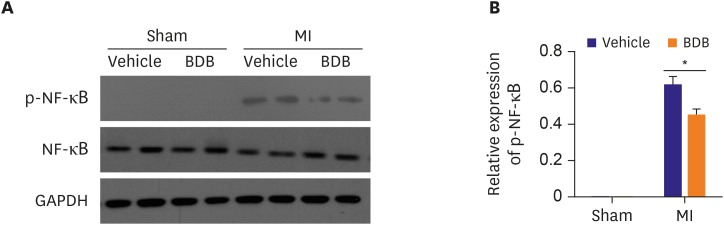 Effect of BDB on the NF-κB p65 phosphorylation in mice hearts of MI. (A) The protein level of phosphorylated NF-κB p65 in sham or infarcted hearts was analyzed by western blotting. (B) Quantification of phosphorylated NF-κB p65. Data are expressed as mean±SEM (n=4). BDB = 3-Bromo-4,5-dihydroxybenzaldehyde; GAPDH = glyceraldehyde 3-phosphate dehydrogenase; MI = myocardial infarction; NF = nuclear factor. * The p