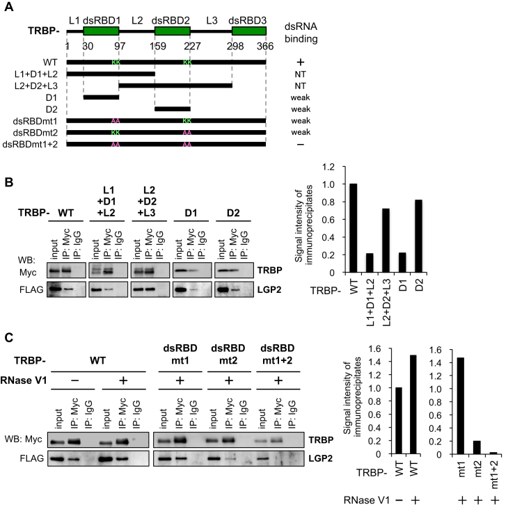 LGP2 interacts with the dsRNA-binding site of TRBP. ( A ) Domain architecture of TRBP-WT and its mutant proteins. The lysines (K) at positions 80 and 81 in dsRBD1 were substituted with alanines (A) in the TRBP-dsRBDmt1 and TRBP-dsRBDmt1+2 mutants, and the lysines at positions 210 and 211 in dsRBD2 were substituted with alanines in the TRBP-dsRBDmt2 and TRBP-dsRBDmt1+2 mutants. The previously reported dsRNA binding affinities are summarized on the right. ( B ) Immunoprecipitation of LGP2 with TRBP-WT protein and its mutants. The anti-Myc antibody was used for immunoprecipitation of TRBP, and LGP2 was detected with anti-FLAG antibody. The bar graph shows the quantified signal intensities of the immunoprecipitates. ( C ) Immunoprecipitation of LGP2 with TRBP-WT protein and its mutants. RNase V1 was added to the immunoprecipitation buffer to remove dsRNA. The bar graph shows the quantified signal intensities of the immunoprecipitates.