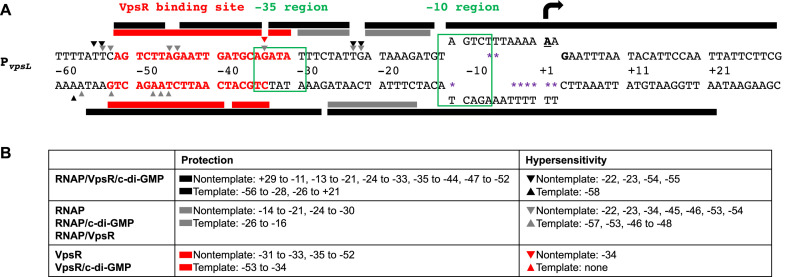 Summary of in vitro primer extension and DNase I and KMnO 4 footprinting. ( A ) Sequence of P vpsL from −60 to +30. Bold and underlined A with black arrow at +1 and bold G (+3) represent the TSS determined by primer extensions; the −10 element and the −35 region are labeled and boxed in green; sequences in bold and red denote the VpsR binding site. Protection sites from DNase I footprinting and hypersensitive sites are depicted as rectangular boxes and triangles, respectively, either above (non-template) or below (template) the sequences: gray, RNAP with or without c-di-GMP or VpsR; black, RNAP with VpsR and c-di-GMP; red, VpsR with or without c-di-GMP. The open transcription bubble detected using KMnO 4 footprinting is shown as separated ssDNA from position −11 to +2 with sites of KMnO 4 cleavage indicated as purple asterisks. ( B ) Summary of positions of protection and hypersensitive sites on non-template and template strand DNA.