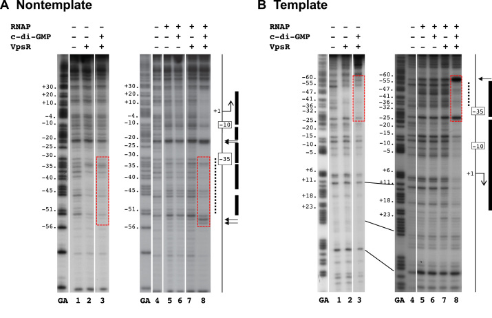 DNase I footprinting of P vpsL complexes on ( A ) nontemplate DNA and ( B ) template DNA. GA corresponds to G+A ladder. VpsR, c-di-GMP and/or RNAP are present as indicated. To the right of each gel image, a schematic indicates the −10 and −35 regions and the +1. The VpsR binding site is indicated as a dashed black line. DNase I protection regions and hypersensitive sites seen with the activated complex of RNAP, VpsR, c-di-GMP and DNA are depicted as black rectangles and horizontal arrows, respectively. The dashed red boxes indicate the regions of DNA where the protection/enhancement within and immediately adjacent to the VpsR binding site changes when comparing complexes containing RNAP with or without VpsR or c-di-GMP to the activated complex. (See text for details.)
