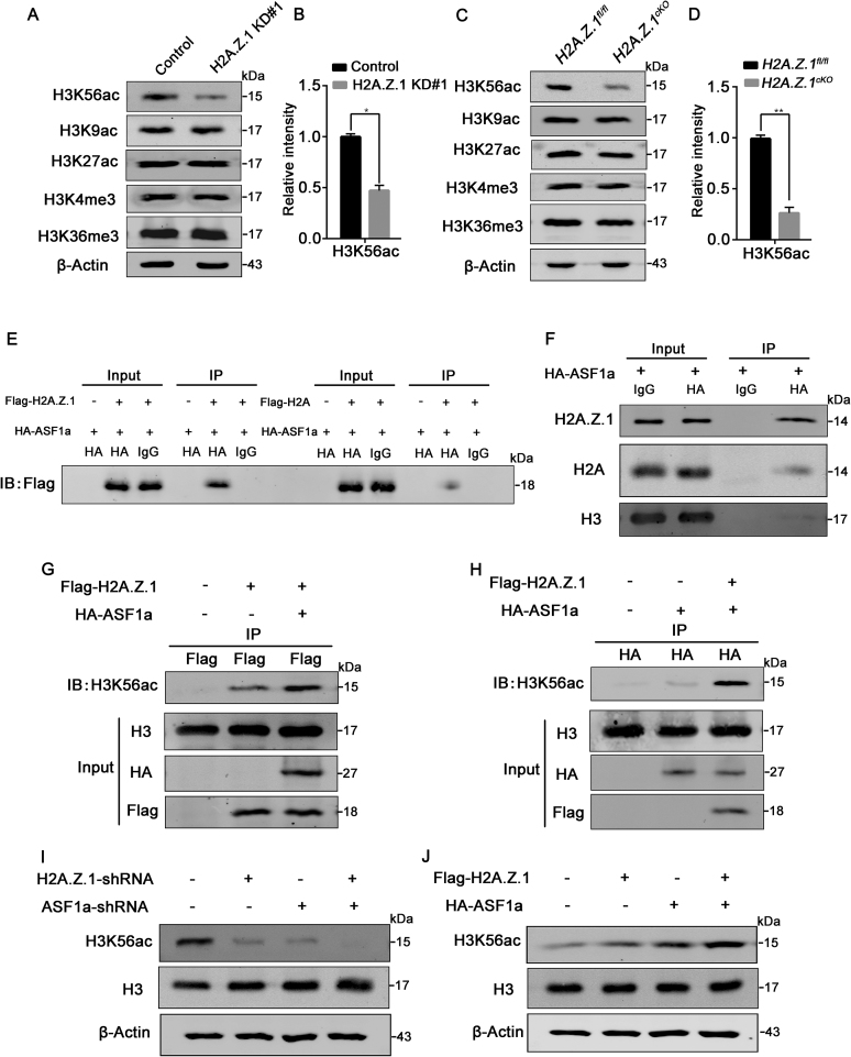 H2A.Z.1 directly and collaboratively interacts with ASF1a to regulate the acetylation of H3K56. ( A ) E15.5 NPCs were infected with a lentivirus encoding control-shRNA or H2A.Z.1-shRNA and cultured for 3 days. Western blot analyses of H3K56ac, H3K9ac, H3K27ac, H3K4me3 and H3K36me3 expressions in the cultured NPCs. ( B ) Quantification of H3K56ac expression in control and H2A.Z.1 knockdown progenitor cultures. Data are represented as means ± S.E.M. ( n = 3; Student's t-test; * P