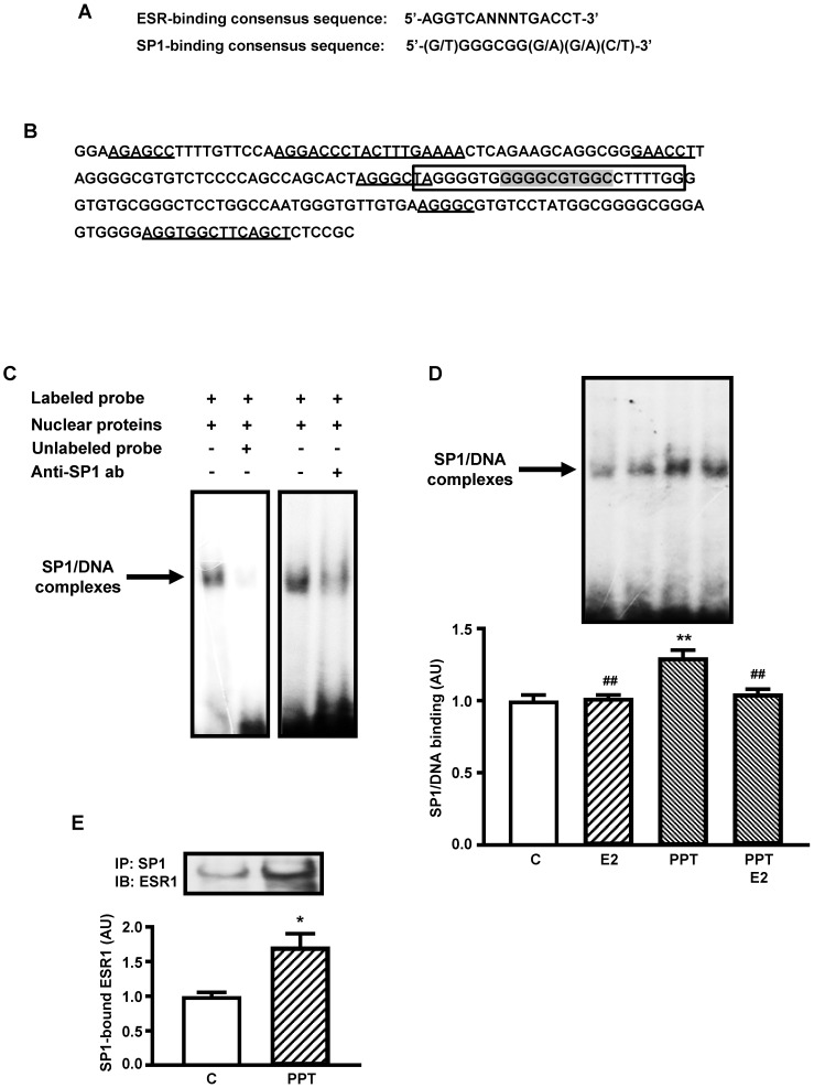 ESR1-mediated stimulation of Slc2a4 gene transcription involves a SP1's cooperative mechanism. A : ESR-binding and SP1-binding consensus sequences 20 , 35 . B : -239/-40 segment of Slc2a4 promoter depicting: the -149/-125 sequence used for EMSA analysis (in the box), containing the SP1-binding site (shaded); and 2 large sequences homologous to the complete (palindromic) ESR-binding site, 3 short sequences homologous to the first half-site of the ESR-binding site and 1 short sequence homologous to the second half-site of the ESR-binding site (underlined). C : EMSA analysis of SP1 binding into the -149/-125 segment of Slc2a4 gene promoter. D : SP1 binding activity into Slc2a4 promoter measured in 3T3-L1 cells 24-hour treated in culture medium alone (C) or supplemented with estradiol (E2), ESR1 selective agonist (PPT) or both (PPT+E2). At the top, representative experiment shows blots of the SP1/DNA complexes, in the same sequence of the graph bars. Data are means ± SEM of 5 different samples, compared by one-way-ANOVA, followed by Tukey's post-test, after to confirm the normality of the data distribution by the Shapiro-Wilk test. **P