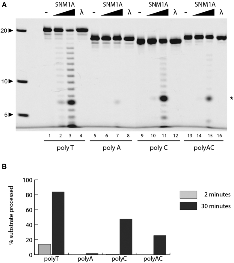 SNM1A has single-strand specific endonuclease activity. ( A ) In vitro time course analysis of SNM1A nuclease activity on 5′ fluorescently-labeled ssDNA. SNM1A (0.2 μM) or Lambda exonuclease (5 units) were incubated with indicated ssDNA (0.1 μM). Reactions were stopped after 0, 2 or 30 min. Products were resolved using 20% denaturing PAGE and imaged with the ChemiDoc XRS (BioRad) at 526 nm. ( B ) Quantification of substrate processed at indicated time points. Substrates were quantified using ImageLab. * denotes an aberrant fluorophore-dependent product ( Supplementary 4 ).