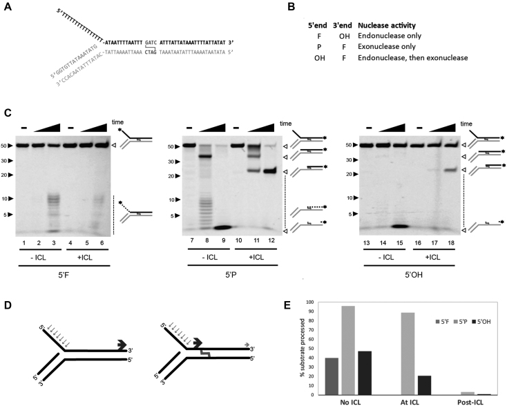 SNM1A can generate a nick to initiate trimming to the crosslink. ( A ) DNA substrate design mimicking stalled replication fork. ( B ) Substrate end modifications and corresponding nuclease activities monitored. F, fluorophore; OH, hydroxyl; P, phosphate. ( C ) In vitro analysis of SNM1A nuclease activities on 5′flap crosslinked DNA. SNM1A (0.4 μM) was incubated with substrate (0.1μM) as shown in (A) with or without an SJG-136 crosslink. Substrates are labeled as indicated in (B). Reactions were stopped after 0, 2 and 30 min. Products were resolved using 20% denaturing PAGE and imaged with the ChemiDoc XRS (BioRad) at 526 nm. ( D ) Summary of nuclease events on 5′ flap substrate with or without an SJG crosslink. Blue arrows indicate initial endonuclease cleavage. Dark gray arrows indicate exonuclease product. Light grey arrow indicates translesional nuclease product. ( E ) Quantification of product formed in the absence of the ICL, at the ICL, or past the ICL. Products were quantified using ImageLab.