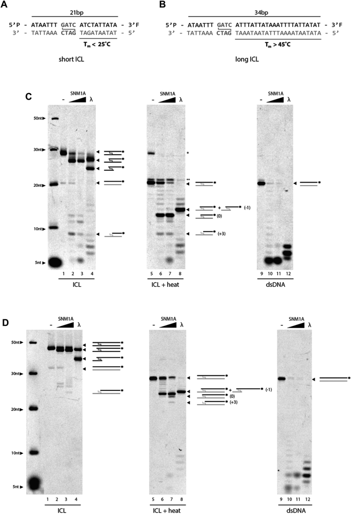 Stability of SJG-136 crosslinks are DNA length-dependent. Short ( A ) and long ( B ) ICL substrates with 3′ fluorescent label. In vitro analysis of SNM1A translesional nuclease activity on short ICL ( C ) or long ICL ( D ). SNM1A (0.2 μM) or Lambda exonuclease (5 units) were incubated with duplex DNA substrate (0.2 μM) with (left and middle; lanes 1–8) or without (right; lanes 9–12) an SJG-136 crosslink. Reactions were stopped after 0, 5 and 60 min. Crosslinked products were heat denatured (shown in middle panels) to disrupt the crosslink and allow visualization of the top strand alone. A schematic of products is shown with the dark strand represents the labelled DNA visible on the gel. Products were resolved using 20% denaturing PAGE and imaged with the ChemiDoc XRS (BioRad) at 526 nm. * denotes residual crosslinked DNA following heat treatment. ** denotes unphosphorylated substrate.