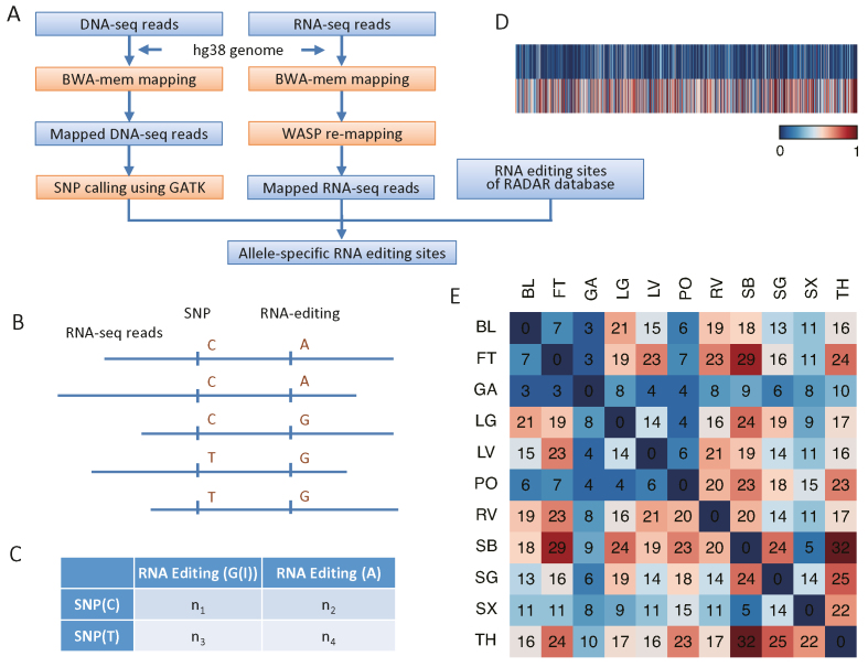 Identification and characterization of allele-specific RNA editing sites in human tissues. ( A ) Overview of the approach for identifying allele-specific RNA editing sites. The pipeline uses raw DNA-seq and RNA-seq reads as source data and was compared to RNA editing sites from the RADAR database to assess allele-specific RNA editing. ( B ) Reads that contain both heterozygous SNPs and RNA-editing sites. These reads were used to identify allele-specific RNA editing sties. ( C ) Fisher's exact test and chi-square test evaluation of allele-specific RNA editing. ( D ) Heatmap showing the RNA editing efficiency for each allele associated with an allele-specific RNA editing site. RNA editing efficiency was defined as the ratio of G reads number to the sum of A and G reads number. Upper row represent low efficiency and the lower row high efficiency. ( E ) Heatmap of overlapping numbers of allele-specific RNA editing sites for tissues from one individual. Individual 1 is used as an example to indicate a high proportion of overlap between tissues. Tissues sampled are: bladder (BL), fat (FT), gastric (GA), lung (LG), ventricle (LV), psoas (PO), right ventricle (RV), small bowel (SB), Sigmoid colon (SG), spleen (SX) and thymus (TH).