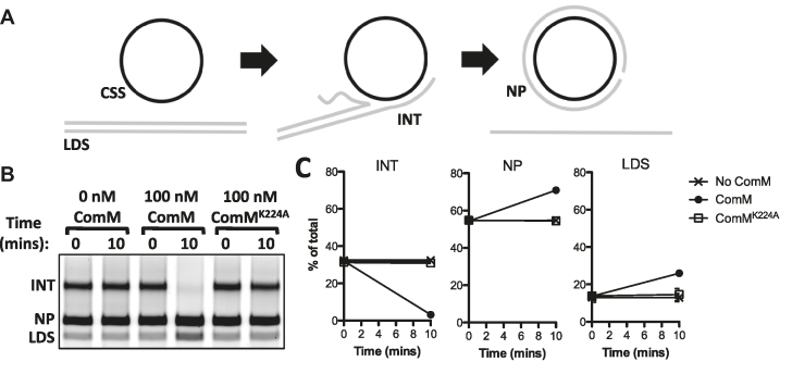 ComM exhibits 3-stranded branch migration activity on long DNA substrates in vitro . ( A ) Schematic for RecA-mediated strand exchange between linear double stranded φX174 (LDS) and circular single-stranded φX174 (CSS), which results in the formation of intermediates (INT) that can be resolved to nicked product (NP) if strand exchange commences to completion. Strand exchange reactions were deproteinated prior to complete strand exchange, and the resulting DNA was used to assess branch migration-dependent resolution of intermediate structures (INT). ( B ) Representative gel where deproteinated intermediates were incubated with the proteins indicated. ( C ) Three independent replicates of the assay described in B were quantified, and the relative abundance of the INT, NP, and LDS are shown as the mean ± SD.