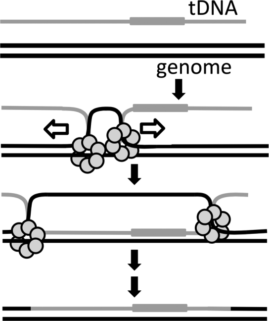 Proposed model for the role of ComM during natural transformation. ComM is shown as a hexameric ring that promotes integration of tDNA via its bidirectional helicase and/or branch migration activity. This can support integration of tDNA with a heterologous region, which is indicated by a gray box.