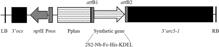 T-DNA construct used for the expression of the chimeric antibodies. (LB) left border, (3'OCS) octopine synthase terminator, ( npt II) neomycin phosphotransferase II gene, (P nos ) nopaline synthase promoter, (Pphas) β-phaseolin promoter, ( att B1 att B2) attachment sites for Gateway recombination, (2S2) signal peptide of the 2S2 seed storage protein, (Nb-Fc) Fusion of anti- Campylobacter nanobody to chicken IgA or IgY, (His) histidine-tag, (KDEL) endoplasmic retention peptide, (3' arc5-1 ) arcelin terminator and (RB) right border.