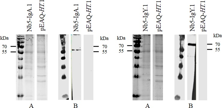 Transient expression of chimeric antibodies carrying Nb5 in leaves of N . benthamiana . Protein extracts were analysed using (A) SDS-PAGE stained with Coomassie blue dye and (B) western blot developed with mouse anti-histidine tag monoclonal antibody. Extracts of N . benthamiana leaves transformed with Nb5-IgA and Nb5-IgY fusion constructs were tested. Leaves infiltrated with A . tumefaciens harbouring the vector pEAQ -HT were used as negative control.