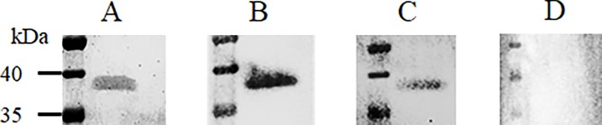 Interaction of chimeric antibodies in seed extract from homozygous plants with their antigen. SDS-PAGE and a western blot were performed on purified MOMP under non-denaturing conditions. (A) SDS-PAGE with purified native MOMP stained with Coomassie blue dye. The results of the western blot confirm the interactions of (B) Nb23-IgA14D and (C) Nb23-IgY12C, with MOMP. (D) Wild-type extract was used as a negative control. The western blot was developed with anti-IgA or anti-IgY antibodies conjugated to HRP.