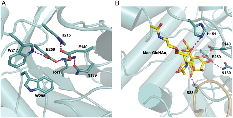Close up of the active site in Ca Man5_18. (A) Interactions made by the catalytic residues Glu140 and Glu259 with Arg41, Asn139, His215, Trp217 and Trp295. (B) Hypothetical binding of Man-GlcNAc 2 and possible interactions with Ser88, Asn139 and His151. Purple dashed lines highlight interactions.
