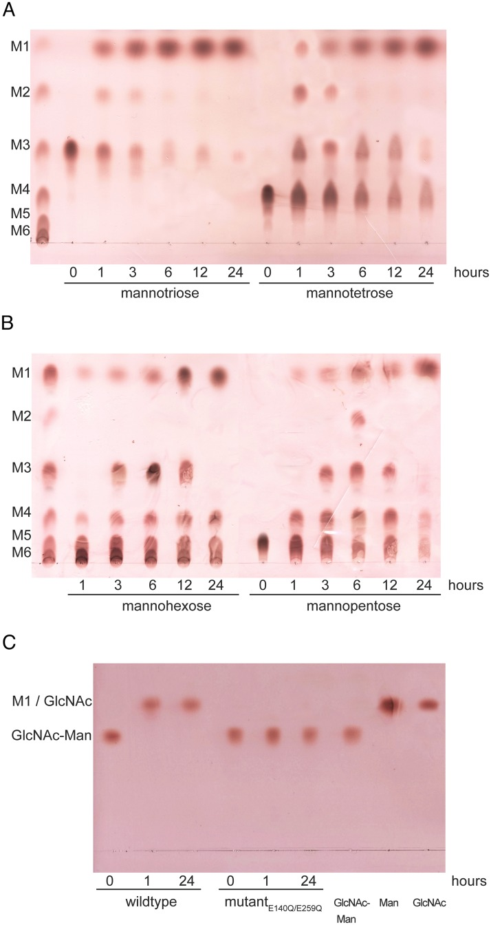 TLC analysis of product formation. Separation of the hydrolysis products from time-dependent hydrolysis of mannooligosaccharides and Man-GlcNAc by wild-type Ca Man5_18. (A) M3 and M4; (B) M6 and M5 with the mannooligosaccharide standards M1-M6 at the left; (C) Man-GlcNAc hydrolysis by Ca Man5_18 wild type and the E140Q/E259Q double mutant.