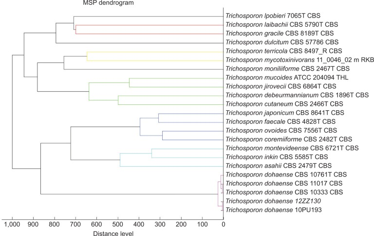 The MSP dendrogram generated from the protein mass spectra of the two Trichosporon dohaense isolates studied by <t>Bruker</t> <t>Biotyper</t> (Bremen, Germany), version 3.1. Abbreviation: MSP, main spectrum peaks.