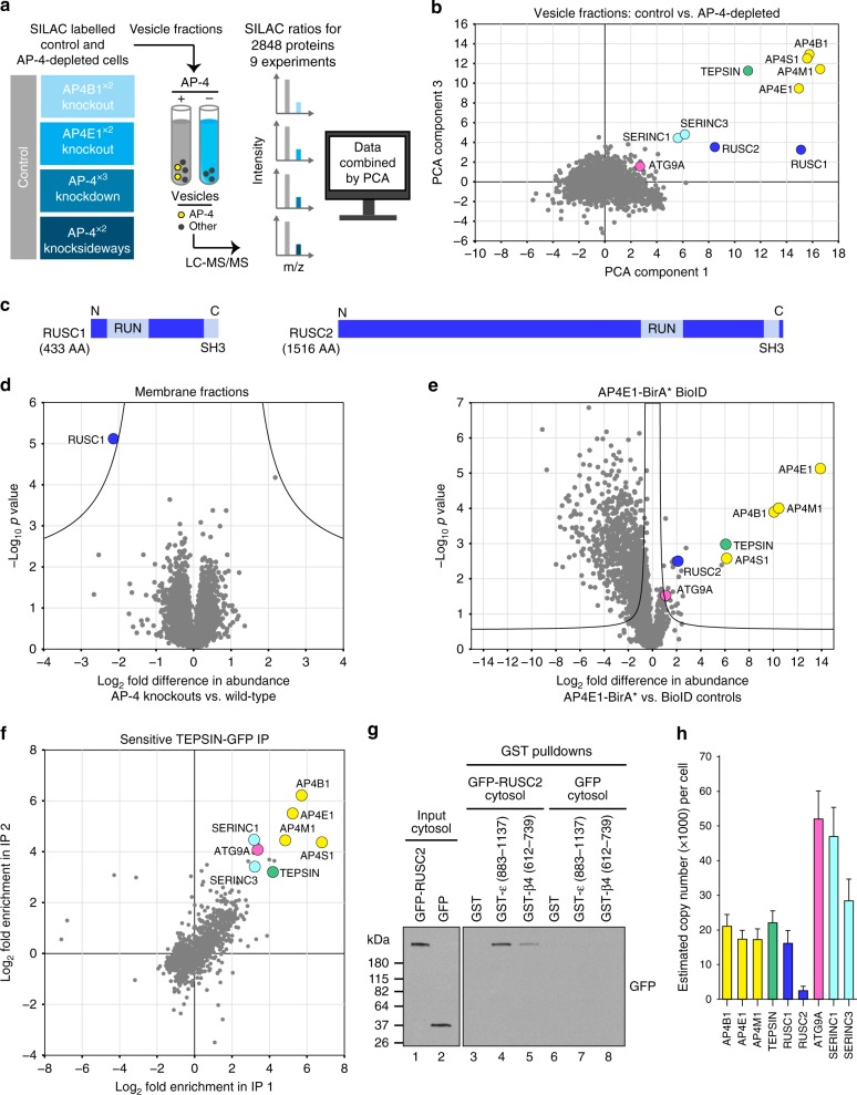Multiple orthogonal proteomic approaches confirm ATG9A, SERINC1 and SERINC3 as AP-4 cargo proteins and identify RUSC1 and RUSC2 as AP-4 accessory proteins. a Workflow for proteomic vesicle profiling. Vesicle-enriched fractions were prepared in pairs from metabolically (SILAC heavy or light) labelled control and AP-4-depleted cells and compared by quantitative MS. 2848 proteins were quantified across all experiments. b PCA combining the SILAC ratios from nine comparative AP-4-depleted vesicle fraction experiments. Proteins consistently lost from the vesicle fraction of AP-4-depleted cells are in the top-right section. c Domain organisation of RUSC1 and RUSC2. There are additional RUSC1 isoforms, but our MS data identified the isoform shown as predominant in our samples. d Comparison of protein abundance in total membrane fractions prepared from AP-4 KO ( AP4B1 and AP4E1 , each in triplicate, n = 6) and wild-type HeLa cells (in triplicate, n = 3), analysed by label-free quantitative MS. > 6600 proteins were quantified; RUSC1 was the only protein significantly depleted from the membrane fraction of AP-4 KO cells (RUSC2 and AP-4 subunits were not consistently detected). Data were analysed with a two-tailed t -test: volcano lines indicate the significance threshold (FDR = 5%). e Comparison of protein abundance in affinity purifications of biotinylated proteins from HeLa cells stably expressing AP4E1-BirA*, and control cell lines (HeLa, HeLa BirA* and HeLa GFP-BirA*), analysed by label-free quantitative MS and volcano analysis as in d . The experiment was performed in triplicate and the control dataset was compressed to the three highest LFQ intensities per protein. > 3100 proteins were quantified; FDR = 5%. f High-sensitivity low-detergent immunoprecipitations from HeLa cells stably expressing the AP-4 associated protein TEPSIN-GFP. The scatter plot shows two replicate SILAC comparisons of TEPSIN-GFP immunoprecipitations versus mock immunoprecipitations (from parental He