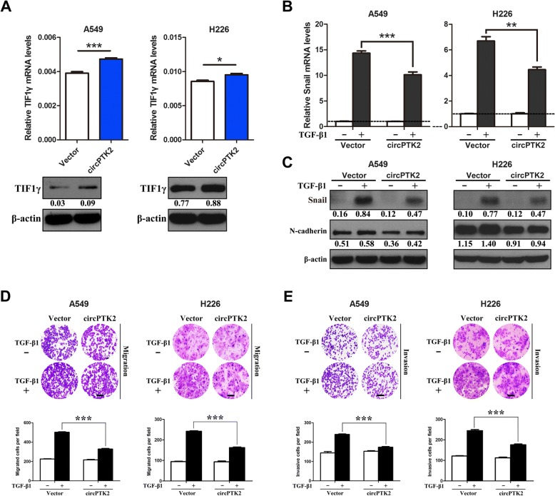Overexpression of circPTK2 enhances TIF1γ expression and inhibits <t>TGF-β-induced</t> EMT and invasion of NSCLC cells in vitro. a TIF1γ mRNA and protein levels in A549 and H226 cells transiently overexpressing circPTK2. Relative TIF1γ expression was determined with normalization against β-actin. b After being serum-starved for 24 h, A549 and H226 cells transiently overexpressing circPTK2 were treated with or without <t>TGF-β1</t> (5 ng/ml) for 1 h and 0.5 h, respectively. Snail mRNA expression was quantified by qRT-PCR analysis. Snail mRNA level of the unstimulated cells was assigned the value 1, and the relative Snail mRNA expression in TGF-β1-stimulated cells was recalculated accordingly. c A549 and H226 cells transiently overexpressing circPTK2 were serum-starved for 24 h and then treated with or without TGF-β1 (5 ng/ml) for 24 h and 48 h, respectively. Snail and N-cadherin protein levels were determined by western blot. β-actin was used as internal control. d , e A549 and H226 cells transiently overexpressing circPTK2 were treated as above and subjected to the transwell migration and invasion assays. Migrated and invasive cells were stained and counted in at least three light microscopic fields. Scale bar, 100 μm. * P