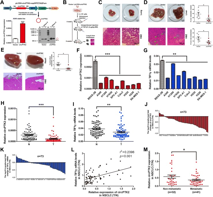 CircPTK2 overexpression attenuates NSCLC cell metastasis in vivo, and circPTK2 levels were lower in metastatic NSCLC tissues than non-metastatic counterparts. a CircPTK2 expression in A549 cells stably overexpressing circPTK2. A549 stable cell line overexpressing circPTK2 was generated as described in Methods. pLCDH-circPTK2-copGFP(T2A)Puro lentiviral expression vector ( upper ) was used to stably overexpress circPTK2. The empty vector was served as negative control. CircPTK2 expression was determined by qRT-PCR ( bottom left ). CircPTK2 expression in circPTK2-overexpressed A549 cells was determined using northern blots. RNase R was used to digest linear RNA ( bottom right ). b Schematic flowchart of the in vivo metastasis experiments with A549 cells stably transfected with pLCDH-circPTK2 or vector (i.v.) and TGF-β1 (i.p.) injected into BALB/c nude mice ( n = 6 mice per group in circPTK2 + TGF-β1 and vector + TGF-β1). c Representative images showing metastatic nodules established in lung taken from the mice injected with circPTK2-overexpressed A549 cells or vector control cells ( upper ). Scale bar, 4 mm. Haematoxylin and eosin (H E) staining was performed for histological confirmation of metastasizing tumor cells in lung ( bottom ). Scale bar, 100 μm. d Gross view of metastatic nodules developed in liver ( upper left ) and dot plots showing the number of metastatic nodules in liver ( upper right , n = 6 mice per group). Scale bar, 4 mm. Microscopic images of H E staining for liver metastases ( bottom left ) and the distribution of the number of metastases in per section of liver ( bottom right , n = 6 mice per group). Scale bar, 100 μm. Yellow and green arrowheads indicate metastatic nodules and micrometastases. e Representative images indicating metastatic nodules developed in pericardium ( upper , n = 6 mice per group) and H E staining of heart ( bottom ). Scale bar, 1 mm or 100 μm. f , g CircPTK2 and TIF1γ mRNA expression levels in human lung epithelial and NSCLC cells. β-actin was used as internal control. Each qRT-PCR analysis was performed in triplicate. h , i qRT-PCR analysis of circPTK2 and TIF1γ mRNA levels in 73 human NSCLC tissues and paired noncancerous lung tissues. Mean values are indicted by solid bars, and values are expressed as mean ± SEM. T, NSCLC tissues; N, paired noncancerous lung tissues. j , k Relative expression of circPTK2 and TIF1γ mRNA in 73 paired NSCLC tissues. Y -axis represents the log 10 transformed fold change of T/N expression ratios of circPTK2 and TIF1γ mRNA. The number of each specimen is shown below x -axis. l Correlation between circPTK2 level and TIF1γ mRNA expression in 73 paired NSCLC tissues. X and y axes represent the T/N expression ratios of circPTK2 and TIF1γ mRNA, respectively. m Relative expression (T/N) of circPTK2 in metastatic ( n = 41) and non-metastatic ( n = 32) NSCLC tissues. Metastatic tissues were from NSCLC patients with lymph node metastasis or distant metastasis and non-metastatic tissues were from NSCLC patients without any metastasis, respectively. * P