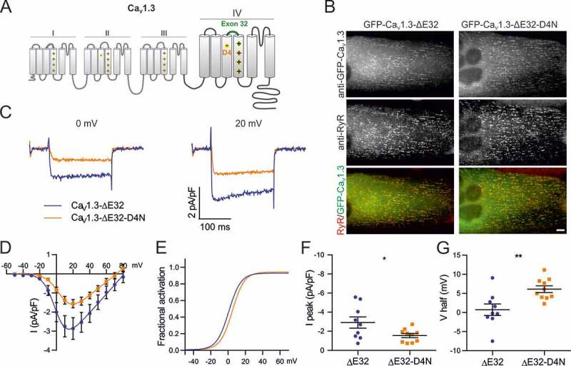 Expression and triad targeting of Ca V 1.2 constructs. Dysgenic myotubes (Ca V 1.1 -/- ) were reconstituted with <t>GFP-Ca</t> V 1.2, GFP-Ca V 1.2-D4N, GFP-Ca V 1.2-ΔE33, or GFP-Ca V 1.2-ΔE33-D4N and double immunofluorescence labeled with anti-GFP and <t>anti-RyR.</t> All channel constructs are equally expressed and colocalized in clusters with the RyR1, indicative of their correct targeting into t-tubule/SR or plasma membrane/SR junctions. Scale bar, 10 μm.