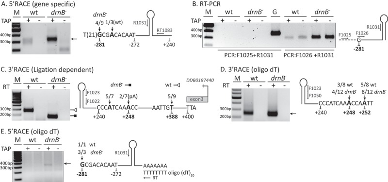 Pri-mir-1176 biogenesis in wt and drnB - strains. Arrows in the schematic pri-miRNA-1176 figures represent primers used for the analyses where prefixes RT, F, and R stand for reverse transcription, forward, and reverse, respectively. Numbers below the sequences denote nucleotide positions in relation to the 5´ most nucleotide of mir-5p. Bold nucleotides and numbers indicate the determined transcriptional start site (TSS) and 3ʹ-ends. Additional numbering in regular font represent start and end of poly(A) RNA-seq reads covering the miRNA locus, except for +400 in C representing the last nucleotide of the stop codon for the downstream gene. 5ʹ and 3ʹ nucleotides from multiple RACE clones are indicated by numbers as fraction/total sequenced RACE-clones. Tobacco Acid Pyrophosphates (TAP) was used to remove cap-structures (A,B,E). (A) 5´RACE to determine the 5´-ends and TSS. (B) RT-PCR to confirm the presence of transcripts starting from the TSS. Genomic DNA (G) template was used as positive control. (C) 3´RACE to determine the 3´-ends. A DNA oligonucleotide was ligated to the 3´-ends of the RNA before reverse transcription followed by nested PCR. (D) 3ʹRACE to determine A-tailed sequences. An oligo (dT) primer was used for reverse transcription followed by nested PCR. (E) 5ʹRACE to determine 5´-ends of A-tailed pri-mir-1176 processing intermediates.