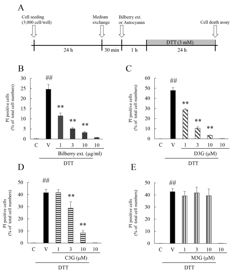 Effect of bilberry extract, and Dp3G, Cy3G, or Mv3G individually on <t>DTT-induced</t> cell death in murine photoreceptor cell line. A : Experimental protocol in vitro. Effect of ( B ) bilberry extract, ( C ) delphinidin-3-glucoside (Dp3G), ( D ) cyanidin-3-glucoside (Cy3G), and ( E ) malvidin-3-glucoside (Mv3G) on <t>dithiothreitol</t> (DTT)-induced cell death in murine photoreceptor cells. The number of cells exhibiting propidium iodide (PI) fluorescence was counted and expressed as a percentage of Hoechst 33342–positive cells. Data are the means ± standard error of the mean (SEM; n=5 to 6). ## p