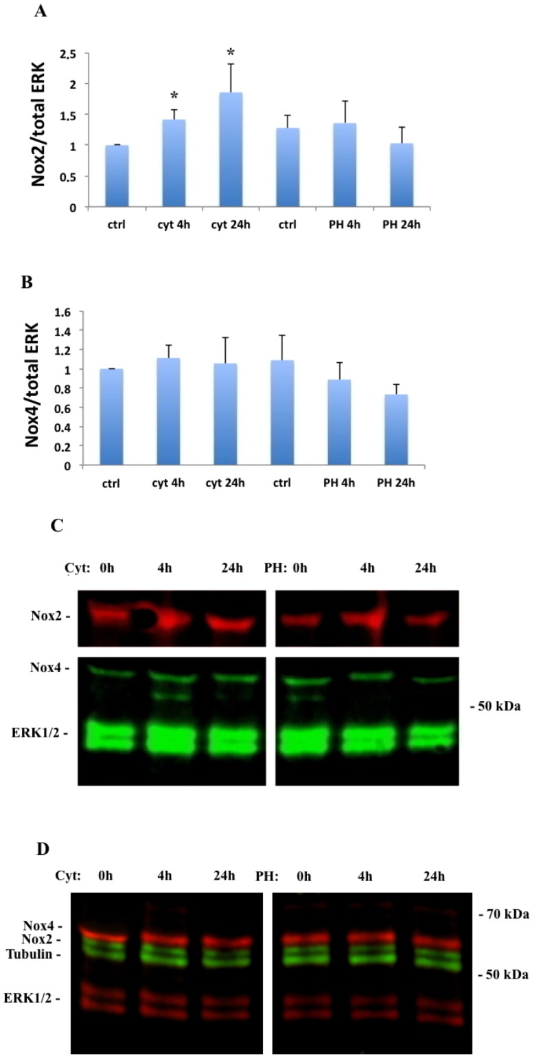 Immunoblot analysis of Nox2 and Nox4 in human islets (A-C) and EndoC- β H1 cells (D). Nox2 (A) and Nox4 (B) expression was assessed after 4h and 24h of IL-1β (20 ng/ml) + IFN-γ (20 ng/ml) (cyt) and palmitate (1.5 mM in 2% BSA) + high glucose (20 mM) (PH) exposure. The expression of Nox2 and Nox4 was normalized to total ERK, which was used as a loading control. Results are means ± S.E.M for 5 independent experiments. * denotes P