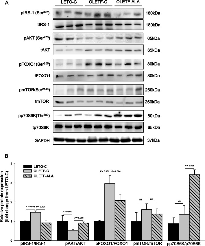 ALA was upregulated protein expression levels of AKT and p70S6K in the skeletal muscles of OLETF rats. The phosphorylation of AKT, FOXO1, mTOR, p70S6K and AKT, FOXO1, mTOR, p706SK expression levels in rat skeletal muscle were determined after 8 weeks of ALA treatment using a western blot analyses, b scanning densitometry. Data presented as mean ± SEM ( n = 6 rats per group)