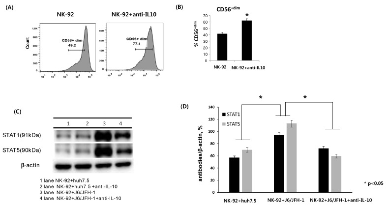 Effect of anti-IL-10 on expression of CD56, and STAT proteins in NK-92 cells. NK-92 cells were cultured in the presence or absence of anti-IL-10 (0.1 ng/mL) for 6 h and stained with fluorescent anti-CD56 antibodies. ( A ) Representative FACS plots showing CD56 expression of NK-92; ( B ) % CD56 +dim NK-92. Alternatively, NK-92 cells were cocultured with J6/JFH-1-huh 7.5 cells or naïve huh 7.5 cells in the presence or absence of anti-IL-10 for 6 h. Cell lysates from NK-92 cells only were assessed for the expressions of stat1 and stat5 proteins. β-actin was served as the loading control. ( C ) Expressions of STAT1 and STAT5 proteins by Western blot. ( D ) Relative band intensity of STAT1 and STAT5 compared with the loading control from at least three independent experiments.