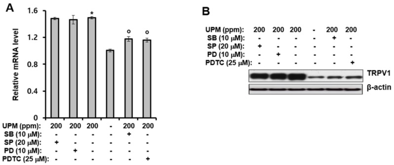 UPM-induced expression of TRPV 1 is mediated through activation of p38 mitogen-activated protein kinase (MAPK) and NF-κB. HaCaT cells were treated with UPM (200 ppm) and then incubated for two days in the presence of the indicated concentration of MAPK and NF-κB inhibitors. ( A ) Total RNA was isolated from the cells, and the mRNA levels of the indicated genes were measured using real-time quantitative RT-PCR. The expressed results are relative to the untreated cells after normalization against the GAPDH level. * p