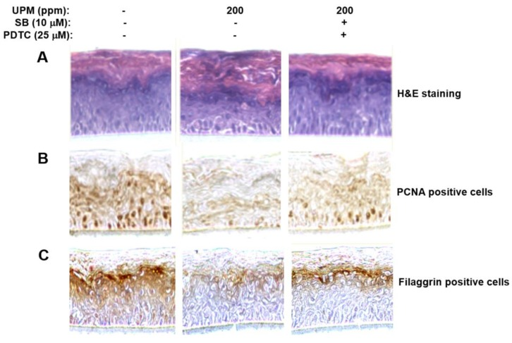 Effects of UPM on structure of reconstructed human epidermis, and expression of PCNA and filaggrin genes in the reconstructed epidermis. ( A ) Reconstructed epidermis was incubated in medium containing 200 ppm of UPM for 96 h in the presence of SB203580 and PDTC and then subjected to hemoxylin and eosin (H and E) staining and immunohistochemical staining for PCNA ( B ) and filaggrin ( C ). UPM, urban particulate matter; SB, SB203580; PDTC, ammonium pyrrolidinedithiocarbamate.