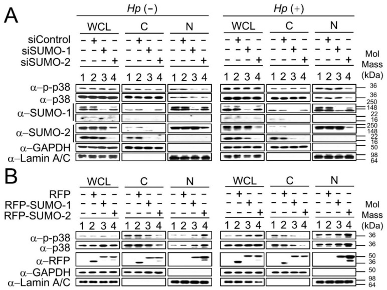 SUMO-2 is more efficient than SUMO-1 in regulating nuclear p38 and p-p38 during H. pylori infection. The cytoplasmic and nuclear fractions of p38 and p-p38 were analyzed from siSUMO transfectants ( A ) and RFP-SUMO transfectants ( B ). p38 and p-p38 were blotted with anti-p38 and anti-p-p38 antibodies. SUMO-1 and SUMO-2 were detected using anti-SUMO-1 and anti-SUMO-2 antibodies. RFP alone or fusion proteins of RFP-SUMO-1 or RFP-SUMO-2, were detected using anti-RFP. GAPDH and Lamin A/C were used as <t>cytosolic</t> and nuclear markers respectively. For α-SUMO-1 and α-SUMO-2 the upper panels show conjugated SUMOs while the lower panels show free-form SUMOs. ( A ) Western Blots showed that the endogenous SUMO-1 and SUMO-2 were down-regulated after transfectional incubation of siSUMO-1 and siSUMO-2. p38 and p-p38 in the N-fraction were decreased in siSUMO-1 and siSUMO-2 transfectants without H. pylori infection; however, their nuclear levels decreased only for siSUMO-2 and not for siSUMO-1 transfectants during H. pylori infection; and ( B ) Western Blots showed that RFP-SUMO-1 and RFP-SUMO-2 fusion proteins were up-regulated after transfectional incubation. p38 and p-p38 levels were up-regulated in the N-fraction and clearly down-regulated in the C-fraction in RFP-SUMO-2 transfectants during H. pylori infection. Quantification of the blots shown in ( A , B ) is summarized in Table S3 below. All experiments were repeated three times and representative images are shown.