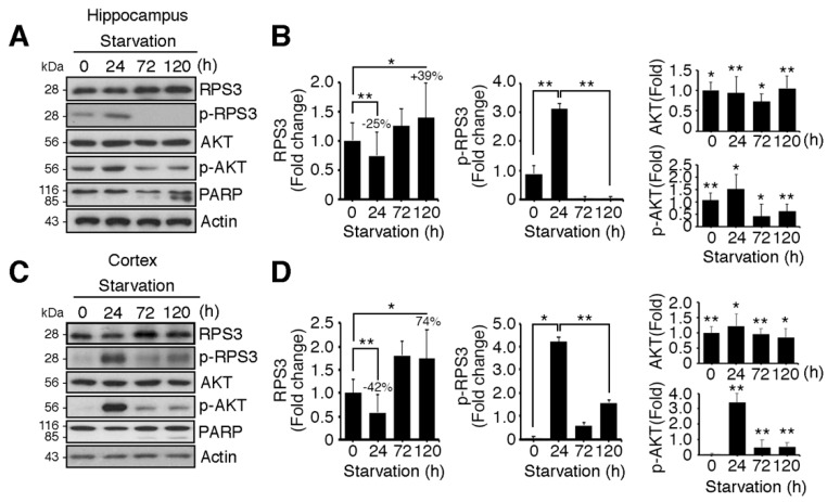 Ribosomal protein S3 (RPS3) is highly upregulated in the hippocampus and cerebral cortex after starvation. C57BL/6 mice were subjected to nutrient starvation, with only water supplied, for 0, 24, 72, and 120 h and were euthanized to isolate the hippocampal area and cortical area of the brains. Endogenous protein levels of RPS3 or phospho (p)-RPS3 in the ( A ) hippocampus or ( C ) cortex were measured by immunoblotting with anti-RPS3 and anti-p-RPS3 antibodies, and neuronal apoptosis was evaluated with an anti-poly-ADP-ribose polymerase (PARP) antibody. ( B , D ) RPS3/p-RPS3 (left), AKT/p-AKT (right) protein levels were determined by densitometric analysis in ( B ) the hippocampus or ( D ) cortex. Densities of immunoblotting were measured with Image J and its normalized with control mice (0 h) brain lysates. Values in this figure represent the mean ± SEM from three independent experiments, and the images shown are representative of at least three independent experiments. Statistical significance was calculated using a one-way ANOVA test followed by Turkey's post-test (* p