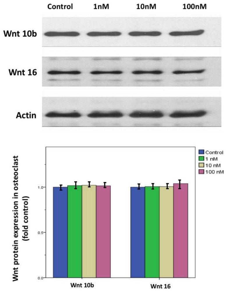 Wnt10b and Wnt 16 protein expression in calcitriol-treated osteoblasts. After preosteoblast 7F2 cells were stimulated with 100 μg/mL ascorbic acid and 10 mM β-glycerol phosphate, Western blot analysis showed both Wnt 10b and Wnt 16 expression in osteoblast at different doses of calcitriol was not significantly different at the protein level. Actin protein served as a loading control. Data are means ± SD ( n = 3).