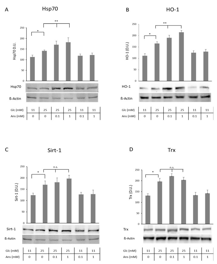 Effect of co-incubation with high glucose and anserine in human tubular cells (HK-2) on cellular heat shock protein 70 (Hsp70), hemeoxygenase (HO-1), Sirtuin-1 (Sirt-1) and Thioredoxin (Trx). Hsp70 ( A ), HO-1 ( B ), Sirt-1 ( C ) and Trx ( D ) cellular protein concentrations significantly increased in HK-2 cells with glucose stress (25 mM for 24 h), determined by Western blotting, compared to cells incubated with medium containing normal glucose concentration (11 mM). Densitometric units (D.U.) after normalization against β-actin are given ( n = 3). Co-incubation with anserine (0.1 and 1 mM) further increased Hsp70 and HO-1 protein but had no additional effect on Sirt-1 and Trx. Anserine alone does not alter tubular cell defense systems. p