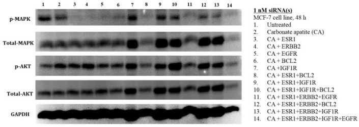 Effects of intracellular delivery of various CA-siRNA complexes on expression and activation of AKT and MAPK proteins in MCF-7 cell line. Preparation of the CA-siRNA(s) complexes involved introduction of ESR1, ERBB2, IGF1R, EGFR and BCL2 siRNAs individually or in combination with 3.5 mM of CaCl 2 to 1 mL of bicarbonate-buffered <t>DMEM</t> (pH 7.4). The mixture was allowed incubation at 37 °C for 30 min before the addition of 10% <t>FBS.</t> The cells were incubated for a consecutive period of 48 h with the prepared complexes, prior to cell lysis for protein extraction and Western blot analysis. Proteins were loaded on SDS-PAGE and transferred onto nitrocellulose membrane for detection of p-MAPK, p-AKT, total MAPK, total AKT and GAPDH (housekeeping protein) expressions.