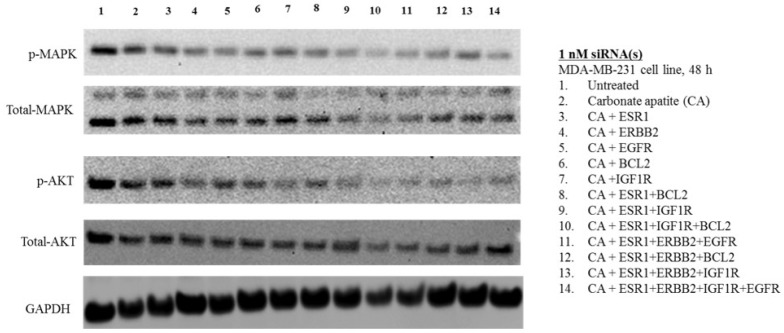 Effects of intracellular delivery of various CA-siRNA complexes on expression and activation of AKT and MAPK proteins in MDA-MB-231 cell line. Preparation of the CA-siRNA(s) complexes involved introduction of ESR1, ERBB2, IGF1R, EGFR and BCL2 siRNAs individually or in combination with 3.5 mM of CaCl 2 to 1 mL of bicarbonate-buffered DMEM (pH 7.4). The mixture was allowed incubation at 37 °C for 30 min before the addition of 10% FBS. The cells were incubated for a consecutive period of 48 h with the prepared complexes, prior to cell lysis for protein extraction and Western blot analysis. Proteins were loaded on SDS-PAGE and transferred onto nitrocellulose membrane for detection of p-MAPK, p-AKT, total MAPK, total AKT and GAPDH (housekeeping protein) expressions.
