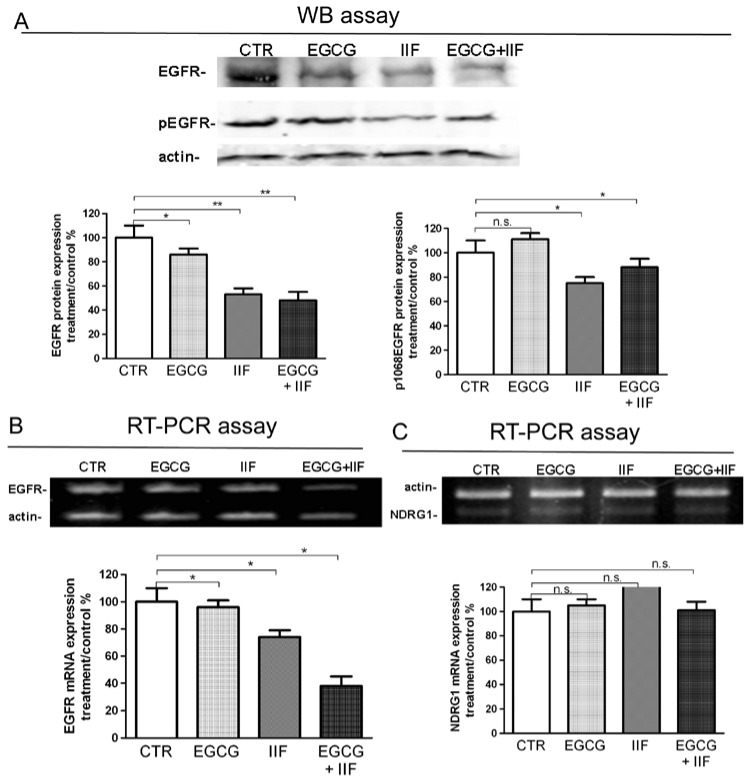 Downregulation of EGFR and p1068EGFR expression by EGCG and IIF treatments in BE(2)-C neuroblastoma cells. Cells were treated with 20 μg/mL EGCG and 10 μM IIF, individually and in combination for 24 h. ( A ) Proteins (50 μg) from total cell lysate were subjected to SDS–PAGE and Western blot analysis of EGFR and p1068EGFR expression after 24 h treatments. Actin was used as a loading control. RT-PCR analysis of EGFR ( B ) and NDRG1 ( C ) in control and treated cells. β-actin was used as a control. The values were normalized to the untreated controls. The results are expressed as the average ± SE of three independent experiments. * p