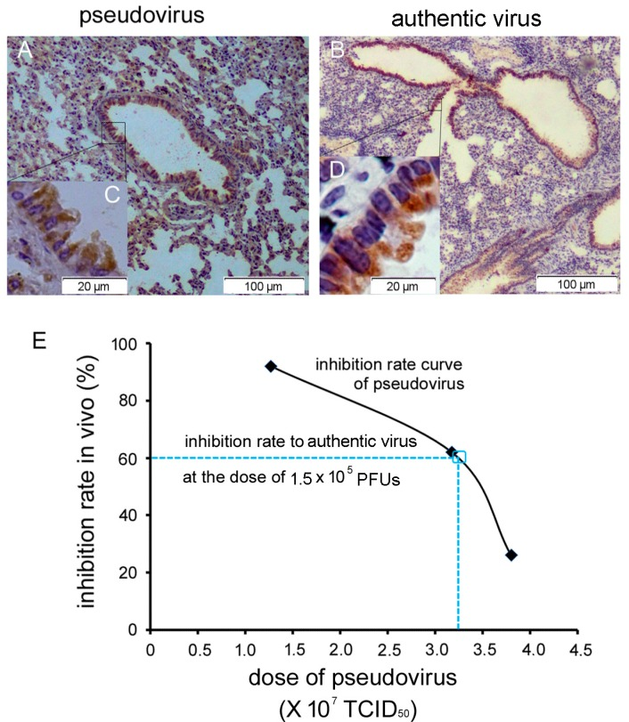 Relationship between pseudovirus and authentic virus models. ( A – D ) Pseudovirus and authentic virus infection in the lungs of R26-hDPP4 mice showed a similar pattern, as shown by IHC using mAb R723 against the RBD of the MERS-CoV S protein. ( C , D ) Both pseudovirus and authentic virus infected ciliated columnar epithelium of bronchi. ( E ) Dose conversion of pseudovirus and authentic virus. The full black line represented the inhibition rate (◆) of humanized mAb H111-1 (1 mg/kg) in vivo using different pseudovirus doses. The blue dashed line represents inhibition rate of H111-1 against authentic virus. When the dose of authentic virus was 1.5 × 10 5 PFUs, we calculated that the inhibition rate of H111-1 at a dose of 1 mg/kg would be 60% (see main text). From the inhibition rate curve of pseudovirus, the corresponding pseudovirus dose was 3.25 × 10 7 TCID 50 . That is, 1 TCID 50 of pseudovirus corresponded to 0.0046 PFU of authentic virus (1.5 × 10 5 /3.25 × 10 7 ). n = 4–6 mice per group.