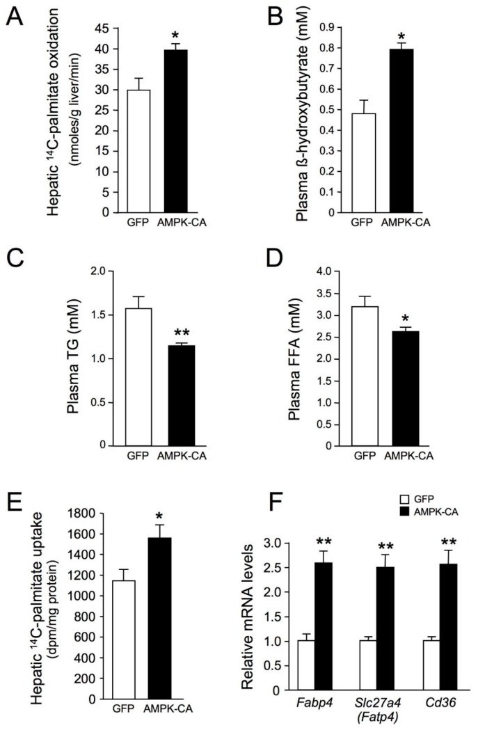 Long-term adenovirus-mediated expression of an active form of AMPK in the liver increases hepatic lipid oxidation and fatty acid uptake. Ten-week-old male C57BL/6J mice received injections of Ad GFP or Ad AMPK CA and were studied at the indicated times after adenovirus injection and in the indicated nutritional state. ( A ) Hepatic [1- 14 C]-palmitate oxidation in fed mice 48 h after the injection of Ad GFP or Ad AMPK-CA ( n = 4); ( B ) Plasma β-hydroxybutyrate levels in 24 h-fasted mice 48 h after the injection of Ad GFP or Ad AMPK-CA ( n = 6); ( C ) Plasma triglyceride (TG) and ( D ) plasma free fatty acid (FFA) levels in overnight-fasted mice 8 days after the injection of Ad GFP or Ad AMPK-CA ( n = 12); ( E ) Hepatic [1- 14 C]-palmitate uptake in 24 h-fasted mice 48 h after the injection of Ad GFP or Ad AMPK-CA ( n = 5); ( F ) Effect of AMPK activation in the liver on the expression of the fatty acid transporters. Total RNA was isolated from the liver of 24 h-fasted mice 48 h after the injection of Ad GFP or Ad AMPK-CA ( n = 5). The expression of Slc27a4 ( Fatp4 ), Cd36 , and Fabp4 genes was assessed by real-time quantitative RT-PCR. Relative mRNA levels are expressed as fold-activation relative to levels in Ad GFP livers. Data are means ± SEM. * p