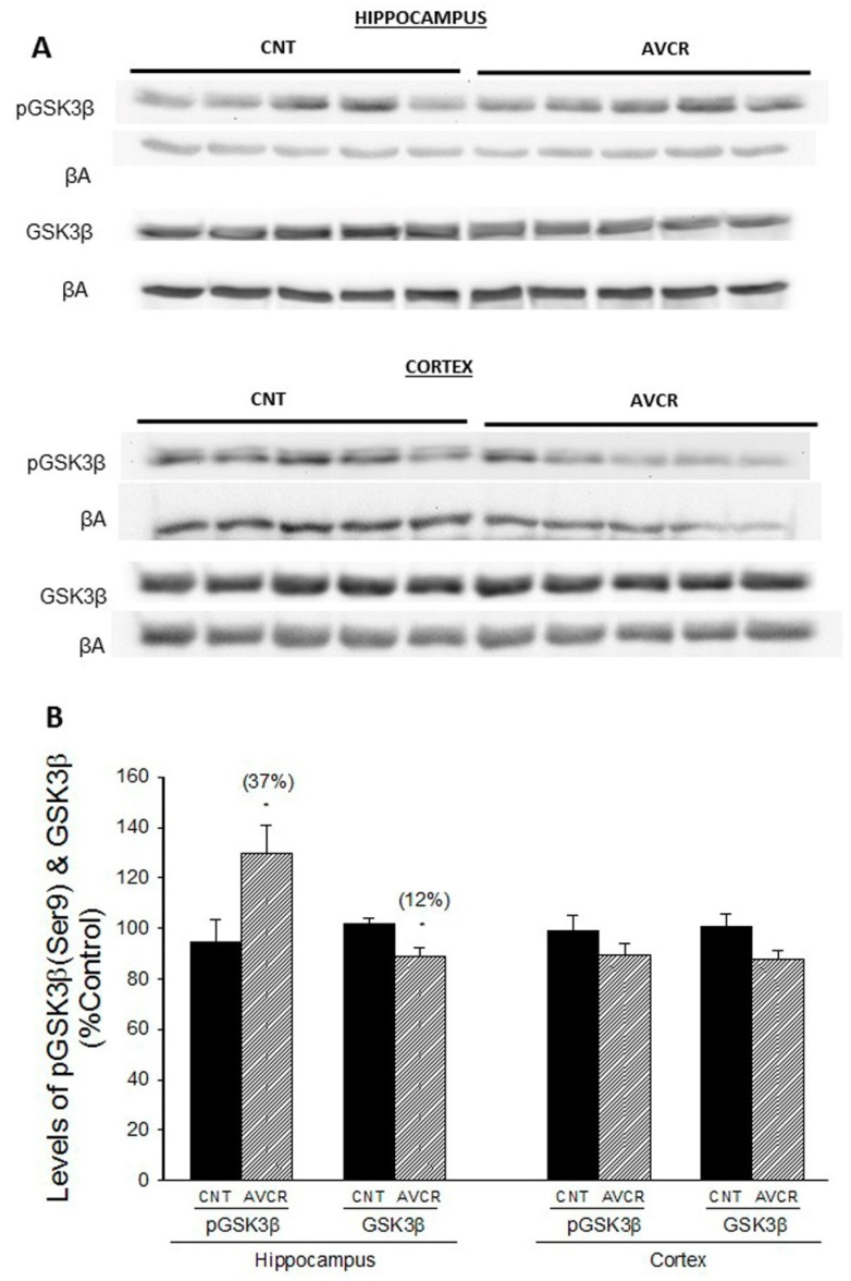 Effect of AVCRI104P3 on pGSK3β (Ser9) and GSK3β in the hippocampus and cortex of 12-month-old 129/Sv × C57BL/6 male mice. ( A ) Representative Western blot images of pGSK3β (Ser9) and GSK3β. β-actin were used as internal control. ( B ) Photodensitometric quantification of WB experiments was used to evaluate changes in pGSK3β and GSK3β expression. The results are the mean ± SEM of 3–4 experiments (5 mice/treatment group). The statistical analysis used was one-way ANOVA followed by Dunnett's test, * p
